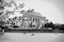 CherryBlossoms_BlackandWhite