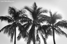 palmtrees_blackandwhite